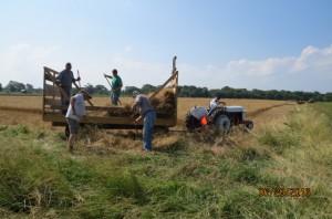2016 Wheat Harvest (2)