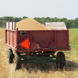 2016 Wheat Harvest (6)