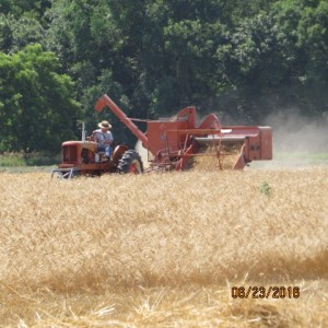 2016 Wheat Harvest (7)